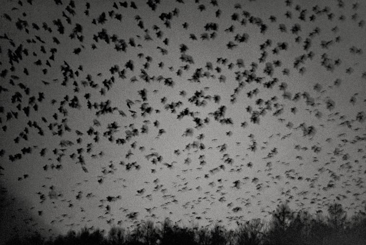 Ravens2
